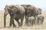 Adult Elephants With Calves