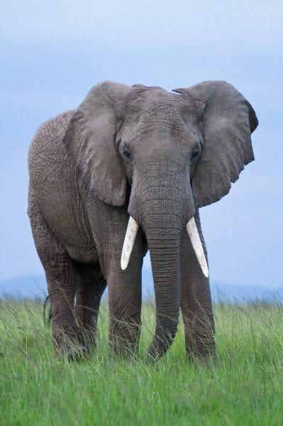 Elefante_africano_macho_600