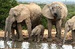 African Elephant Herd Drinking Water