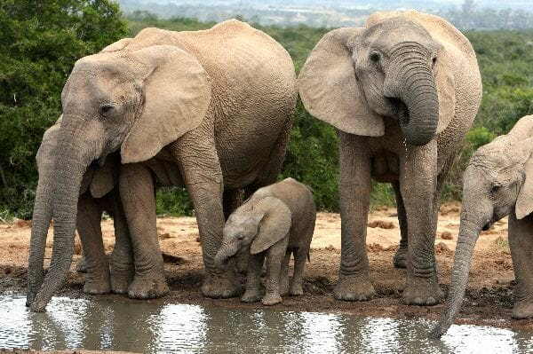 African Elephant Herd Drinking Water