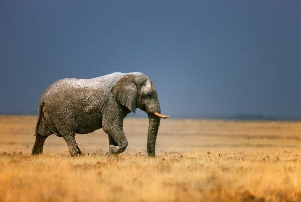 African Elephant In Grass Field