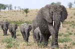 African Elephants Following the Leader