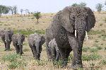 Elefantes_Africanos_Siguiendo_A_Su_Líder_150