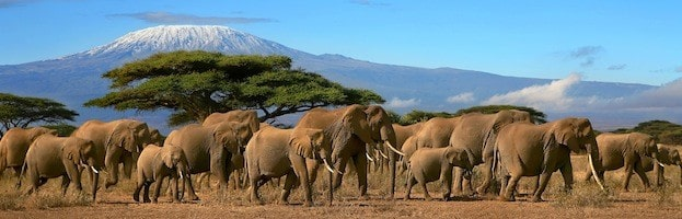 African_elephants_200-623x200.jpg
