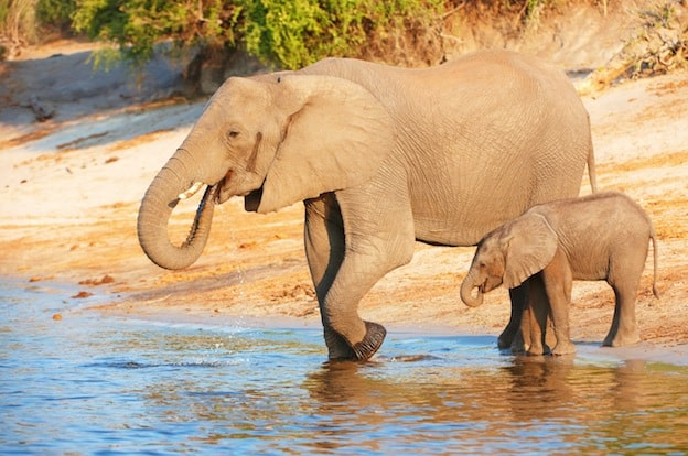 Datos sobre los elefantes africanos