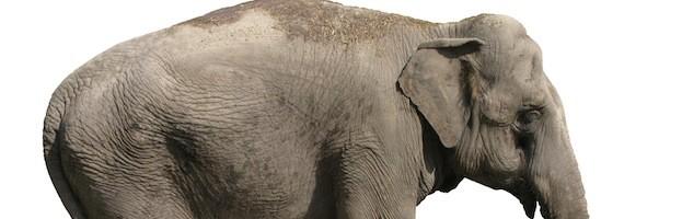 Anatomía de los Elefantes
