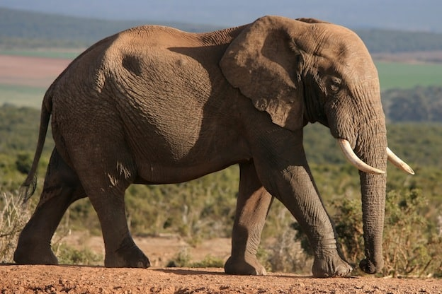 Elephant physical characteristics