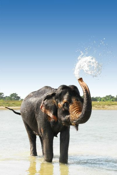 Asian Elephant Blowing Water In Nepal