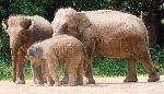 Asian Elephant Family