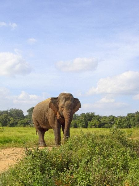 Asian Elephant In Wasgomuwa National Park