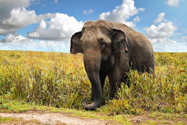 Asian elephant Characteristics