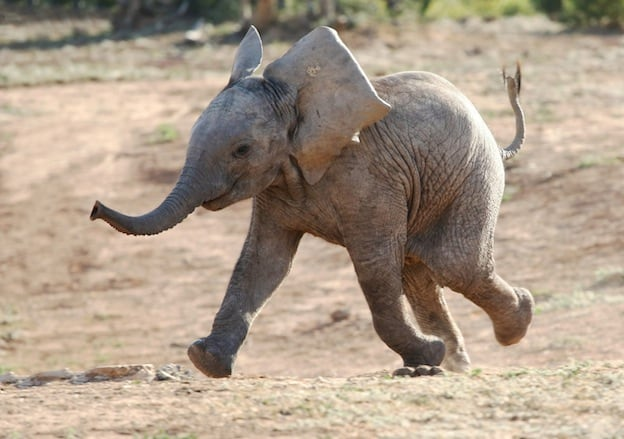 Information about elephant reproduction