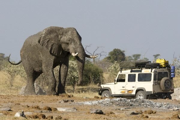 Car Near A Huge African Elephant In Botswana