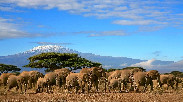 Elephant Herd with Kilimanjaro in the Background
