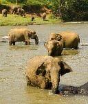 Elephants In a River - Sri Lanka