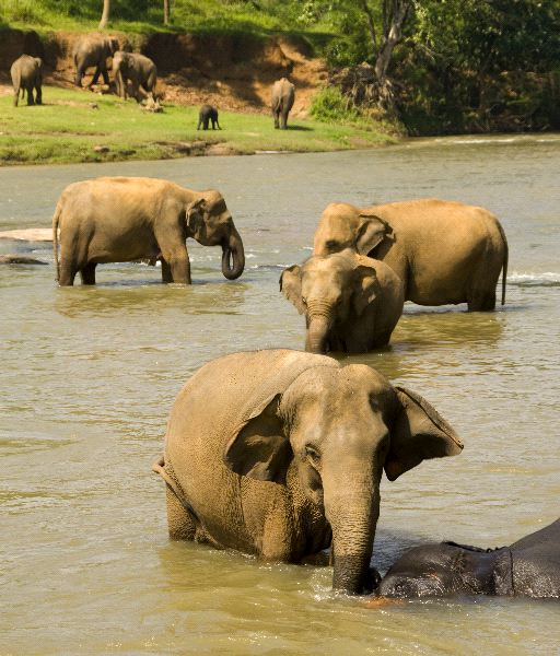 Elephants In a River - Sri Lanka