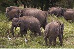 Elephants Looking for Food