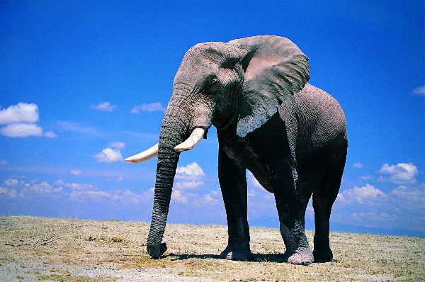 Large African Elephant with Blue Sky