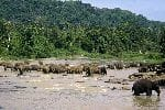 Large Herd Of Elephants In a River