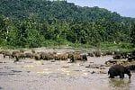 Gran_Manada_De_Elefantes_En_Un_Río_150