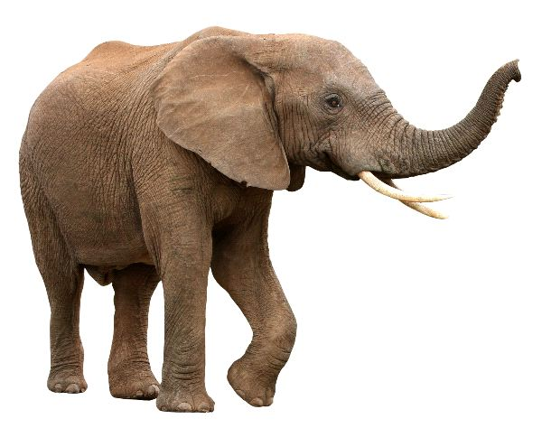 Male African Elephant With Curved Tusks