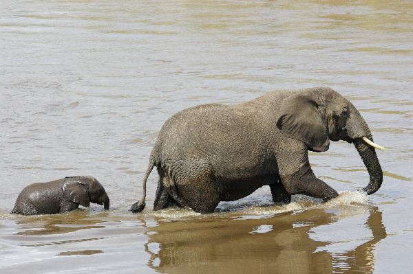Mother And Calf Crossing a River