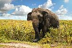 Old Asian Elephant