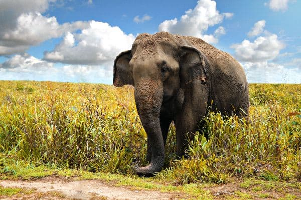 Old Asian Elephant