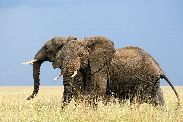 Two African Elephants Running In the Savanna