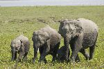 Wild Asian Elephants In Kaziranga National Park India