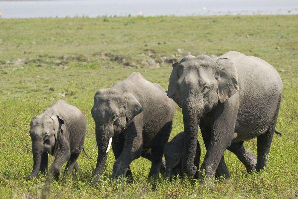 Wild Asian Elephants In Kaziranga National Park India ...