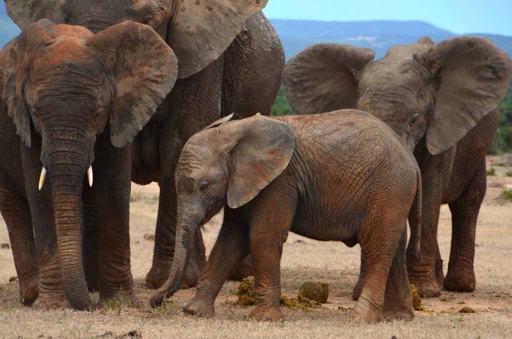 baby elephant calf amongst herd