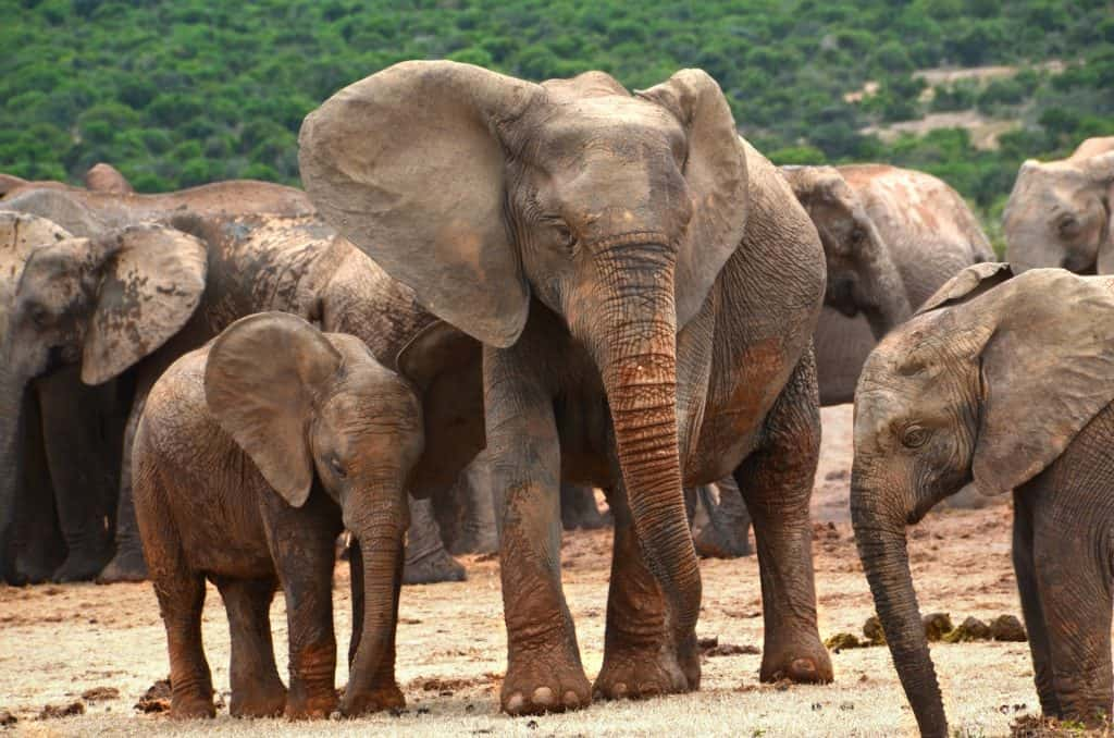 a heard of elephants with with 7 adults and two younger calves