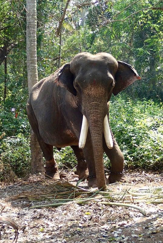 Ancestros de los elefantes.