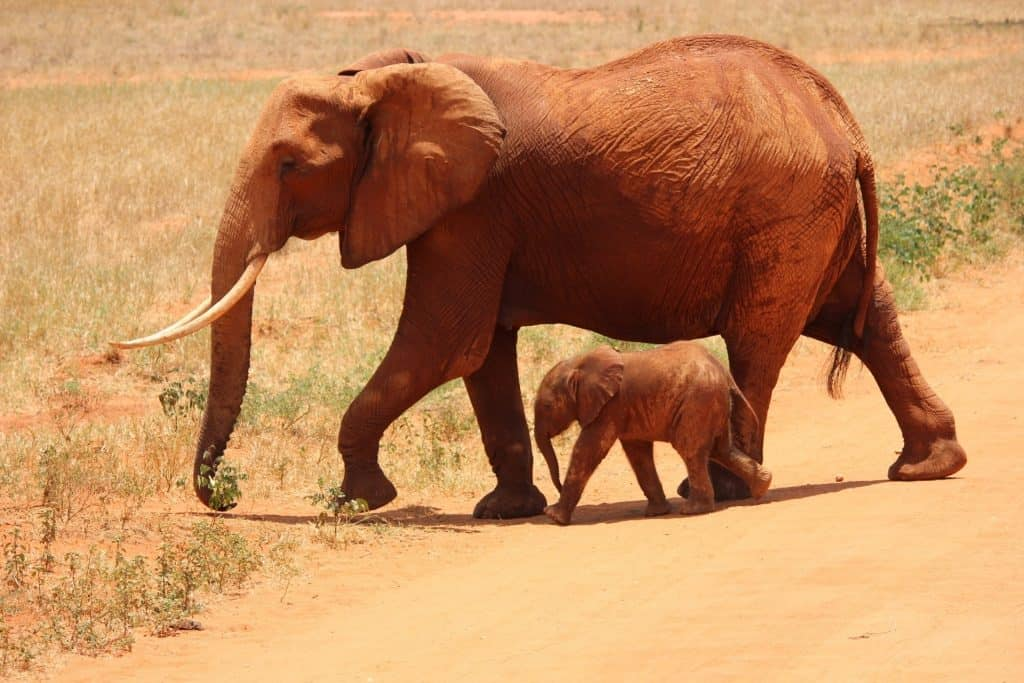 cute baby elephant calf and its mother travelling in the wild