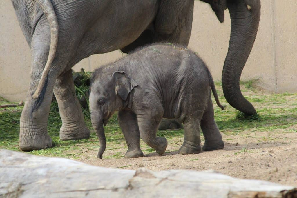cute baby elephant calf and its parent