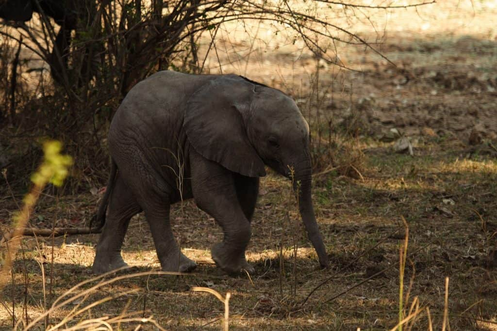 cute baby elephant calf walking