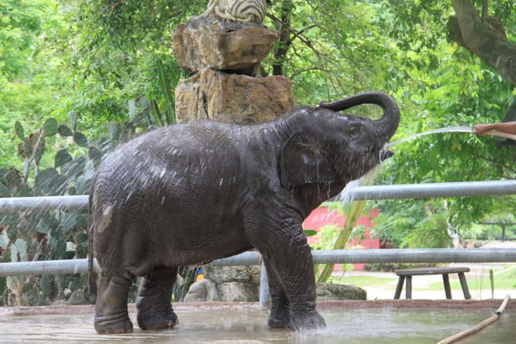 baby elephant calf enjoying a cooling water spray from a hose in an enclosure