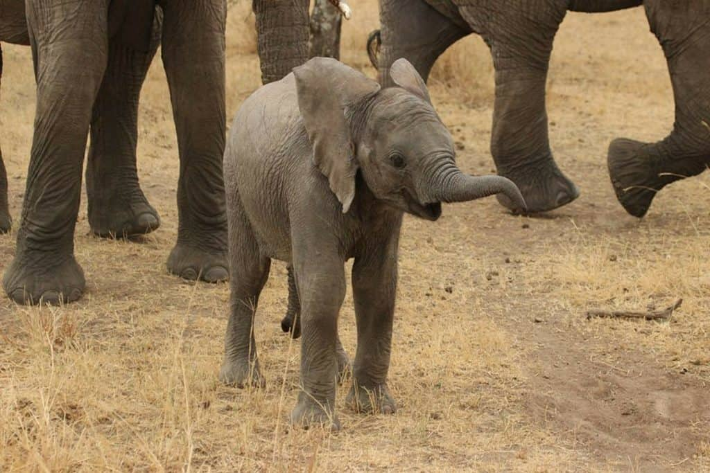 cute young elephant raising its trunk trumpeting