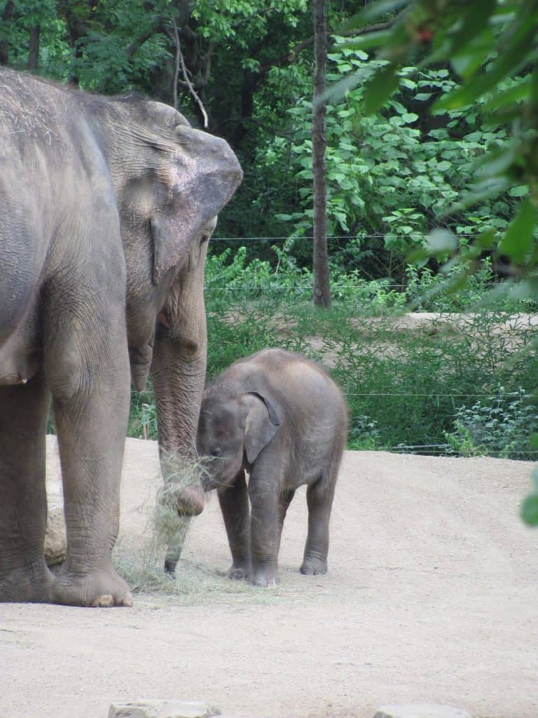 baby elephant calf eating grass with mother in zoo