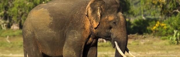Elephants in Captivity
