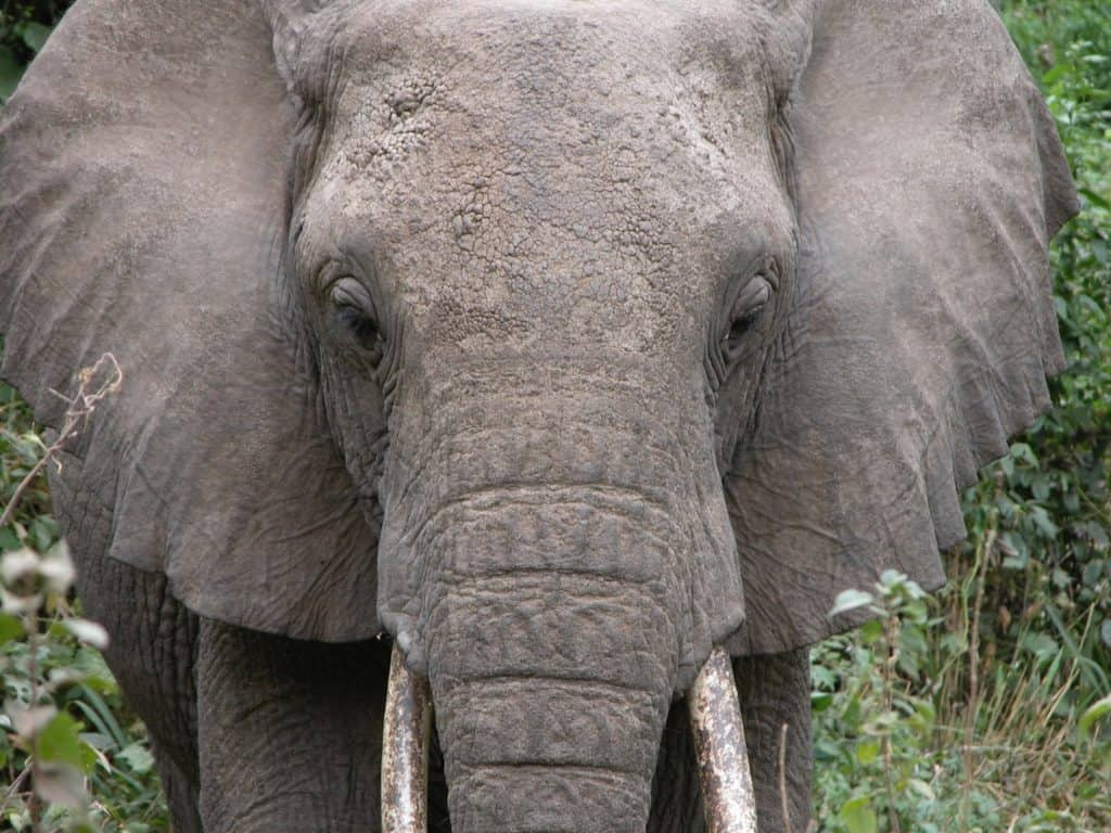 Close up of Elephant Ears and Face