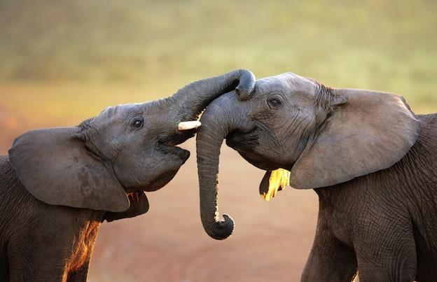 Comportamiento de los elefantes