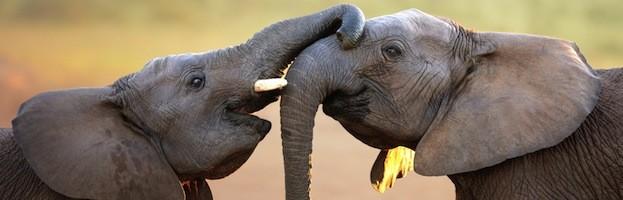 Comportamiento y Comunicación de los Elefantes