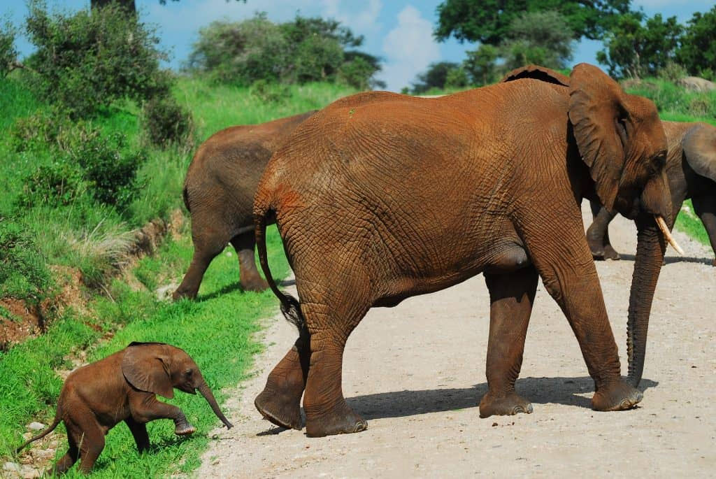 very small and young baby elephant calf covered in mud following the rest of its herd who are also covered in mud