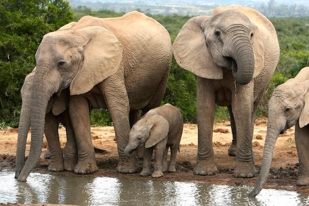 Hábitos alimenticios de los elefantes