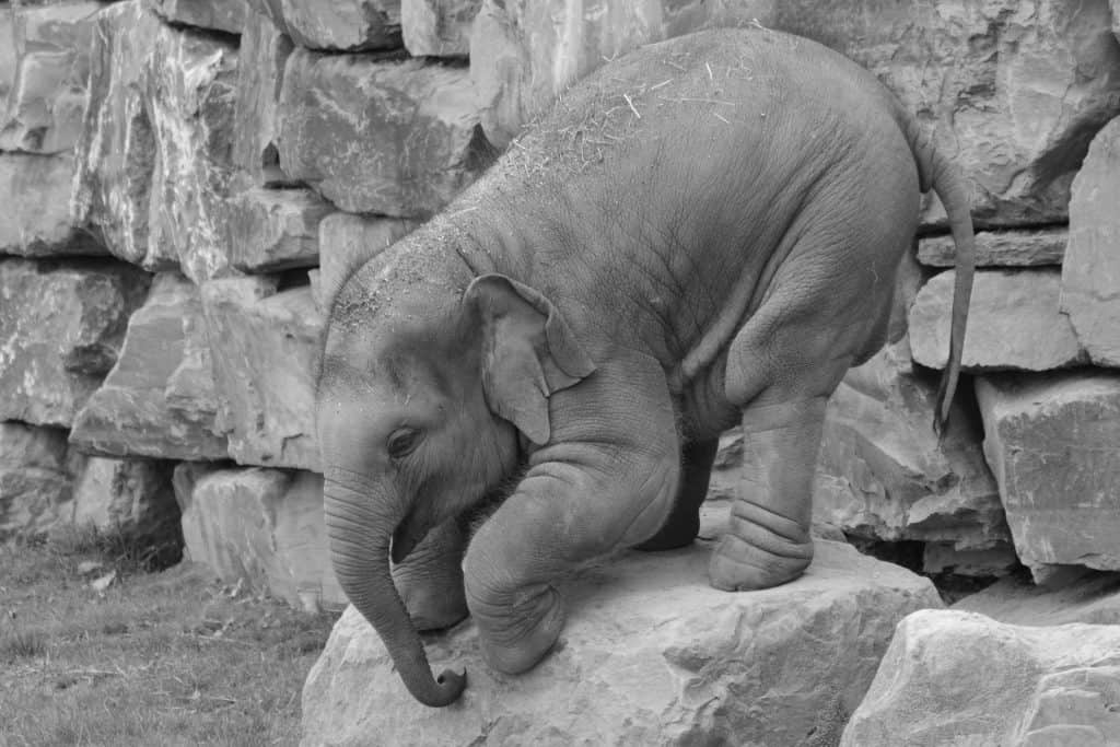 cute and playful baby elephant calf attempting to jump off of rock