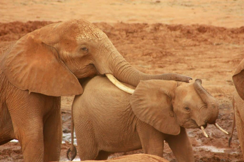 Older elephant cutely resting trunk on top of smaller baby elephant calf