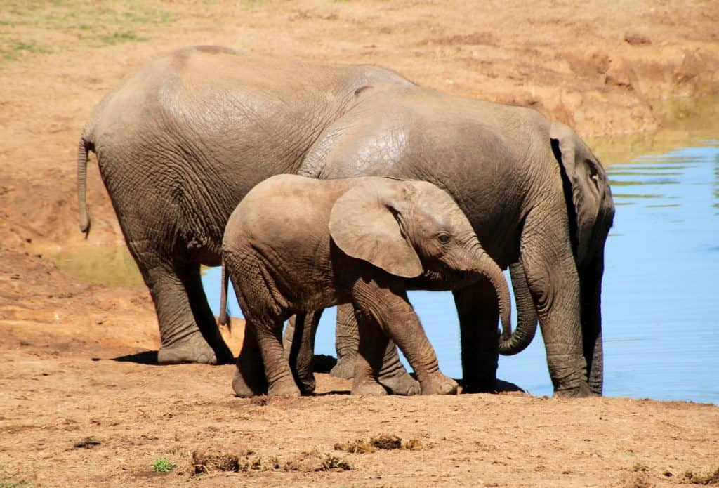 baby elephant calf hovering near water hole with two other older elephants from herd