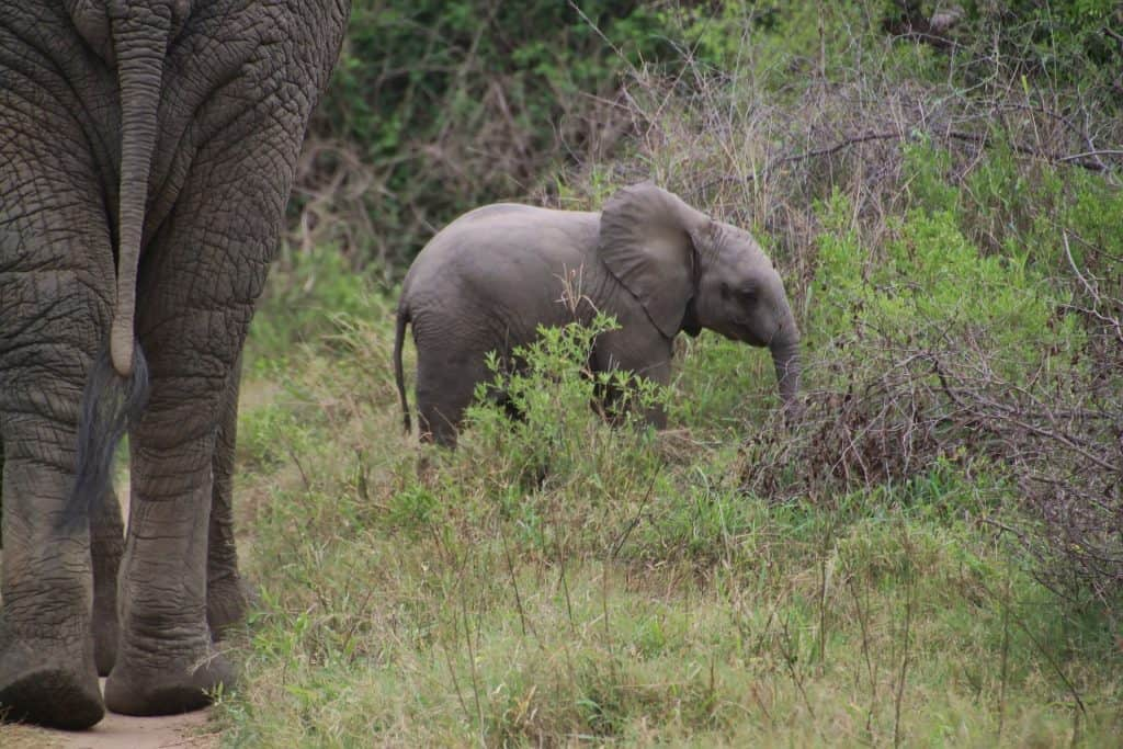baby elephant calf foraging in bushes
